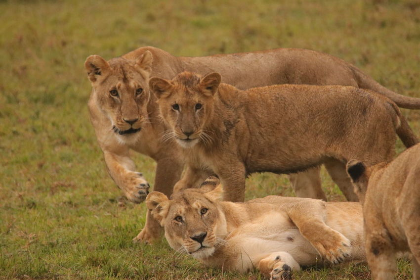 Lions Animal Family Animal Themes Animal Wildlife Animals In The Wild Cub Day Feline Female Animal Grass Lion - Feline Lion Cub Lioness Mammal Nature No People Outdoors Safari Animals Togetherness Young Animal