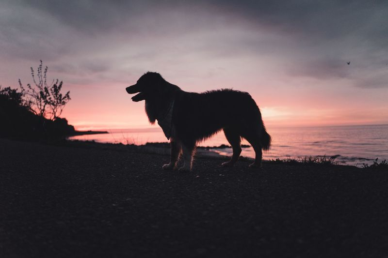 Dog at sunset Ocean Sea Beach Dog Walking Dog Live Authentic Sunset Australian Shepherd  Sunset Animal Themes Domestic Animals Mammal One Animal Silhouette Sky Nature Outdoors Standing No People Beauty In Nature Scenics Water Day