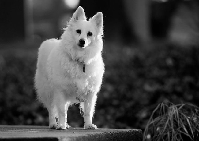 One Animal Pets Domestic Animals Looking At Camera Animal Themes Mammal Portrait Outdoors Day Nature Dog Pet American Eskimo Blackandwhite