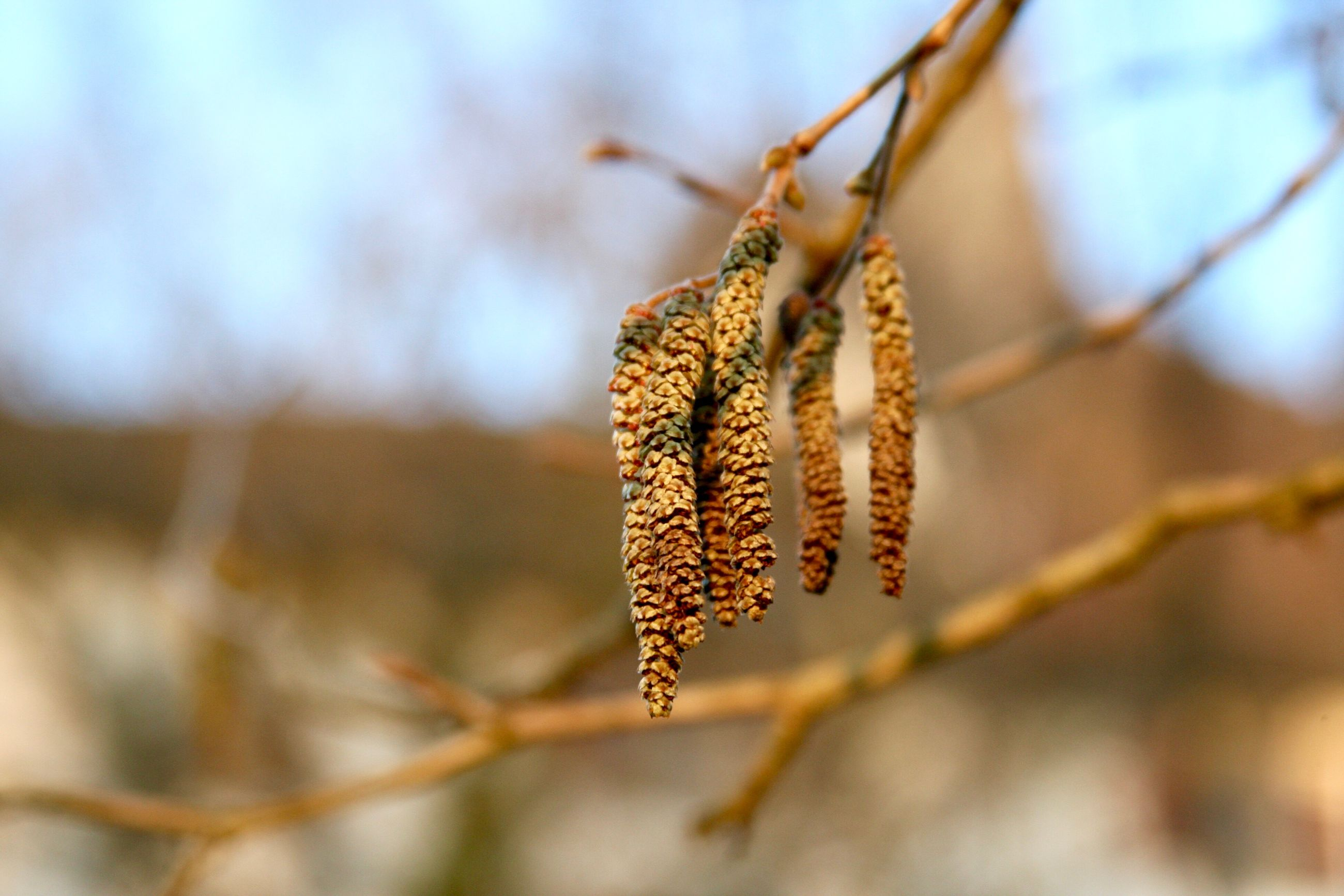 focus on foreground, catkin, nature, day, no people, close-up, outdoors, beauty in nature