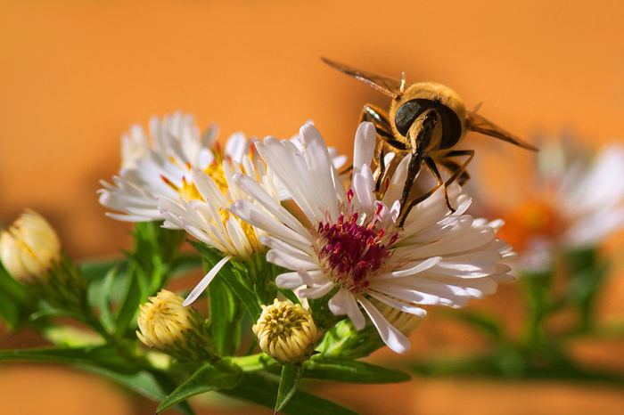 With honey on flowers Animal Themes Animals In The Wild Flower Flowers Fly Focus On Foreground Garden Insect Macro Nature Wildlife
