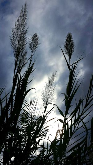 Reed Giant Reed Sky And Clouds Sky_collection Bad Weather Just Before The Rain Sky And Trees Capture The Moment My Best Photo 2015 Grasses
