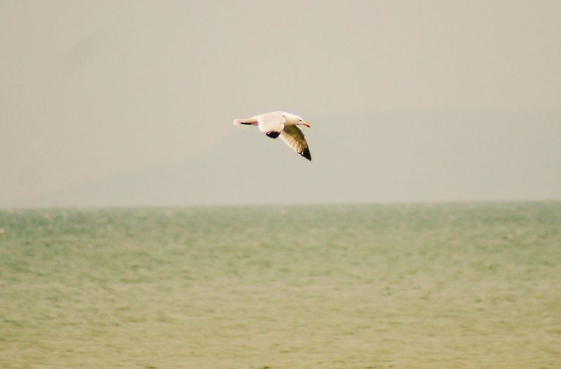 Seagull flying across the sea. Nature_collection EyeEm Best Shots Side View Selective Focus Close-up Beauty In Nature Copy Space Seagull Sea Water Horizon Over Water Mammal EyeEm Selects Animal Themes Animal One Animal Animal Wildlife Animals In The Wild Vertebrate Bird Flying Mid-air Spread Wings Full Length Day No People Outdoors Motion Sky Nature
