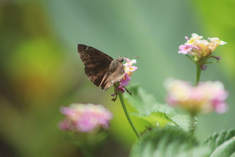 Close-up of butterfly pollinating on pink flower