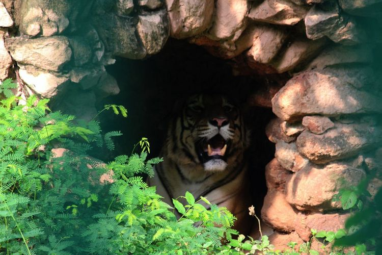Good Morning Tiger One Animal Mammal Animal Wildlife Rock Solid Outdoors No People Nature Day Vertebrate Animals In The Wild Plant Feline Looking At Camera Cat Big Cat Tree