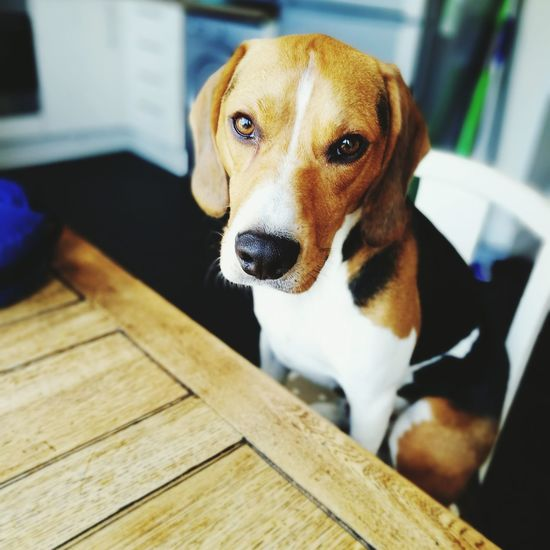 Giving me the eyes for my breakfast Beagle Dog Male Tricolour Beagleoftheday Beaglelovers Beaglelife Hardlife He Thinks He's Human Photography HuaweiP9