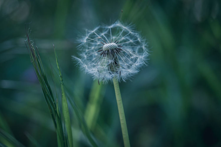 Moody EyeEm Nature Lover EyeEm Nature Collection Nature Photography Nature_collection Nature EyeEm Nature Lovers Plant Freshness Fragility Flower Growth Dandelion Vulnerability  Flowering Plant Close-up Beauty In Nature Focus On Foreground Inflorescence Flower Head Softness No People Day Green Color Dandelion Seed Tranquility Outdoors Spring The Minimalist - 2019 EyeEm Awards The Great Outdoors - 2019 EyeEm Awards