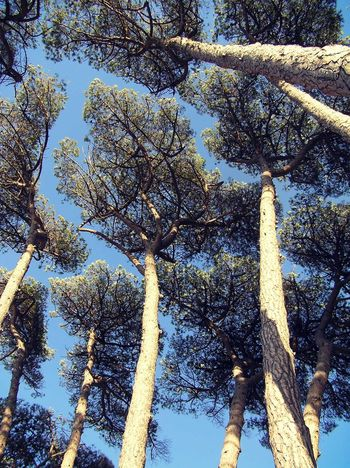 Beauty In Nature Branch Day Low Angle View Maritime Pines Nature No People Outdoors Scenics Sky Tranquility Tree Up EyeEmNewHere