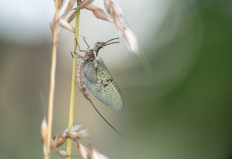 a mayfly sits on a blade of grass Invertebrate Insect Animal Themes Animal Wildlife Animals In The Wild One Animal Animal Close-up Animal Wing Day Plant Selective Focus Nature Focus On Foreground Beauty In Nature Human Body Part Zoology Flower Butterfly - Insect Outdoors Mayfly
