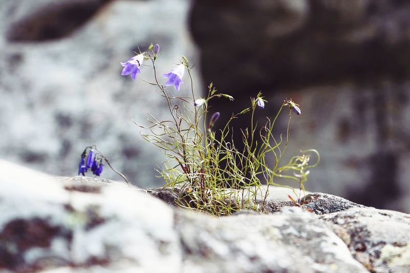 Growing through the rocks Badass Insect Close-up Nature Fragility Flower Beauty In Nature Freshness Flowers Climbing Photography Purple Toughness Arid Climate Life Living Summer Rocks Growing Plant Nature Selective Focus