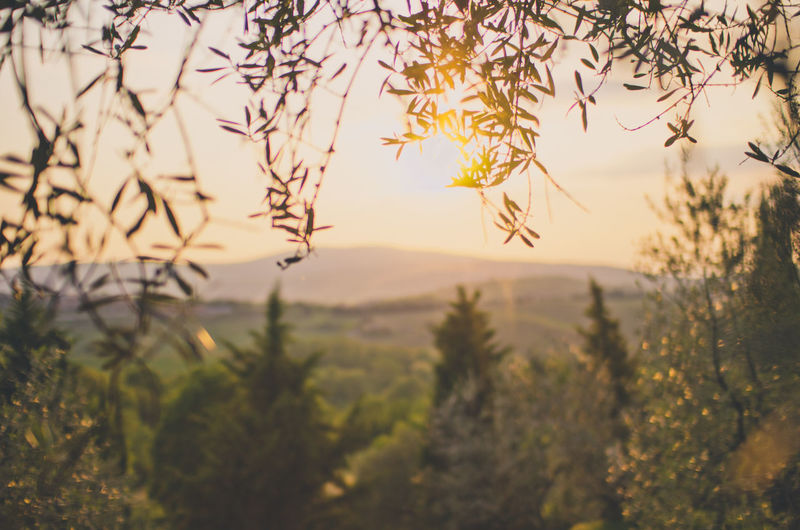 Olive garden near siena, italy