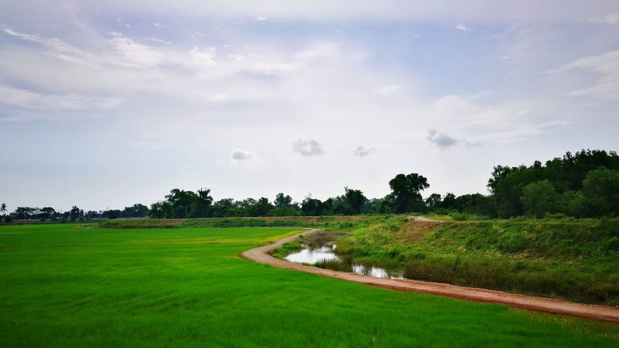 Paddy field🌾 Field Rice Paddy Rural Scene Landscape Green Color Tranquility Outdoors Cereal Plant Freshness Day Scenics Agriculture Beauty In Nature Grass Nature No People Nature Beauty Love Nature🌲 Green Nature Enjoying The View Look Around There Is Always Something Amazing In Nature Wildlife & Nature Greeny Freshness Cheer Life! Wild View
