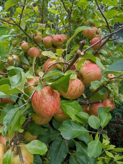 Apples Urban