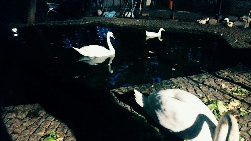 Swans Lake Nihgt Turkey_photo