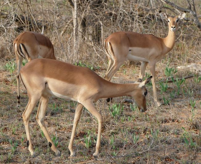 Southafrica South Africa Animals Animal Nature Travel Traveling GameDrive Impala Savannah Safari EyeEm Best Shots Wildlife Klaserie Kruger Park