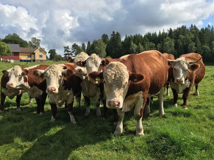 Muh Animal Themes Animal Domestic Animals Group Of Animals Livestock Mammal Plant