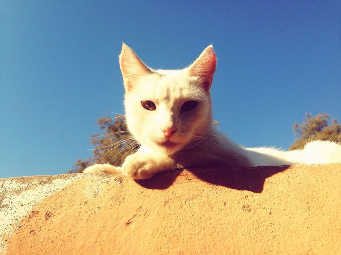 Low angle portrait of cat against clear blue sky