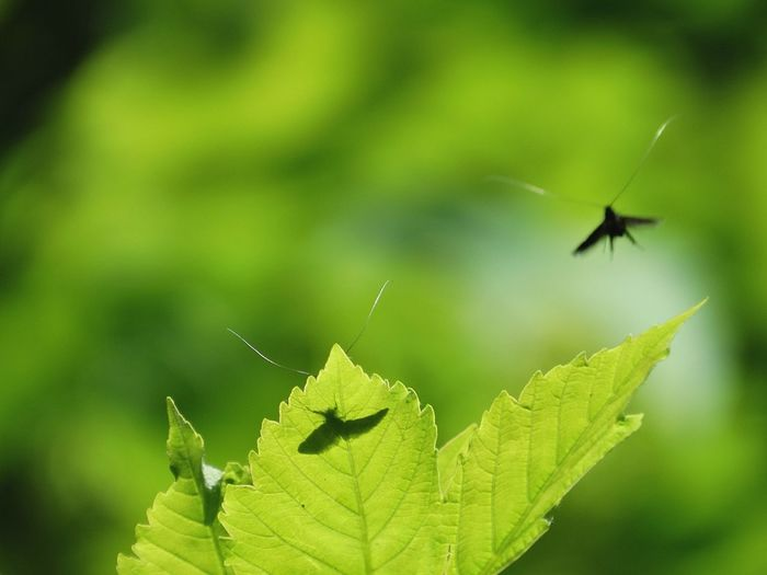 mayfly May May Fly Mayfly Insect Shadow Insect Shadow Green Color