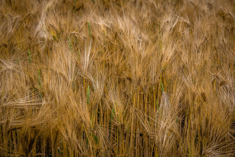 Plant Growth Backgrounds Agriculture Nature Crop  Land No People Cereal Plant Landscape Field Rural Scene Full Frame Tranquility Grass Beauty In Nature Day Farm Brown Close-up Outdoors