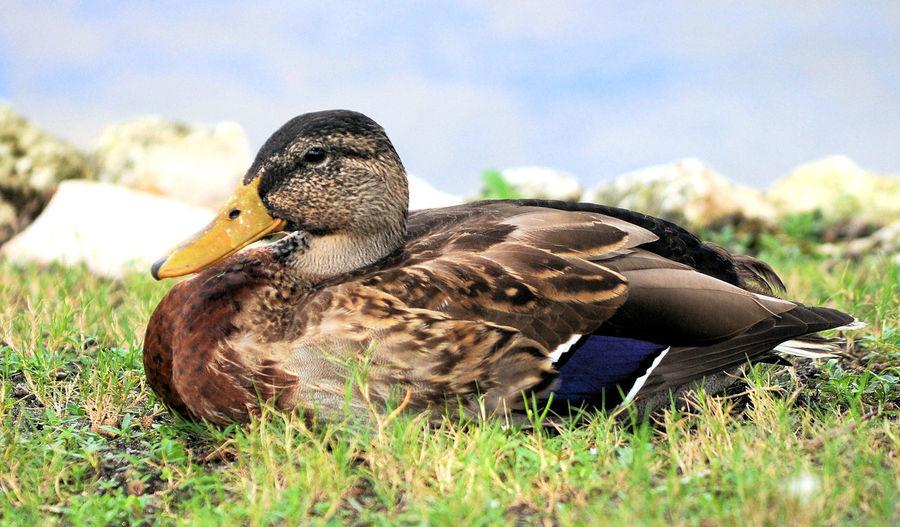 Duck! Mallard