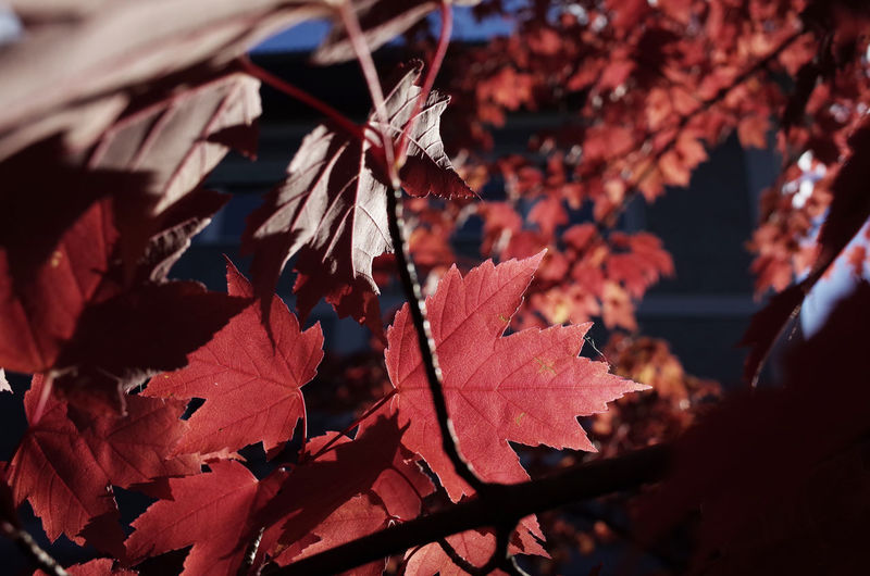 autumn colors Autumn Autumn Autumn Collection Autumn Colors Autumn Leaves Beauty In Nature Botany Branch Change Close-up Colorful Fragility Leaf Leaf Vein Leaves Leaves🌿 Maple Leaf Maple Tree Natural Condition Natural Pattern Plant Season  Season  Vibrant Color