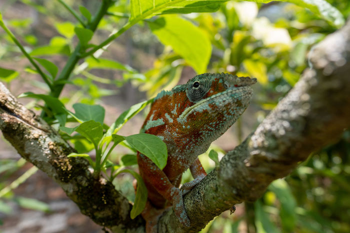 Panther Chameleon Chameleon Reptile Africa Madagascar  Adaptation Camoflauge Hidden Gems Colourful Hidden Animal Themes Fauna Beauty In Nature Wildlife Tree Rainforest Jungle Travel Destinations Tourism Vacations