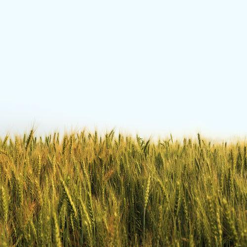 Barley Barley Field Cereal Empty Field Food Grain Green Wheat Yellow Green Fields Green Field Greenfield Greenfields