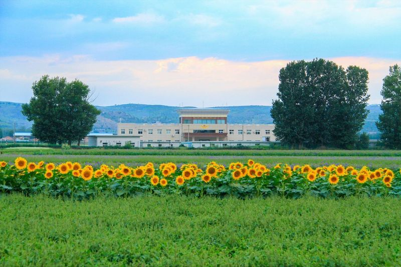 Yellow flowers growing in field against sky
