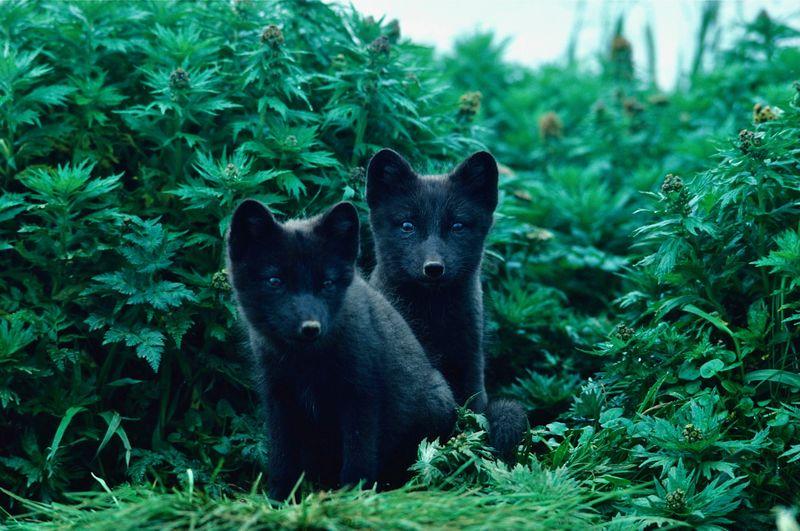 Portrait of two arctic fox kits