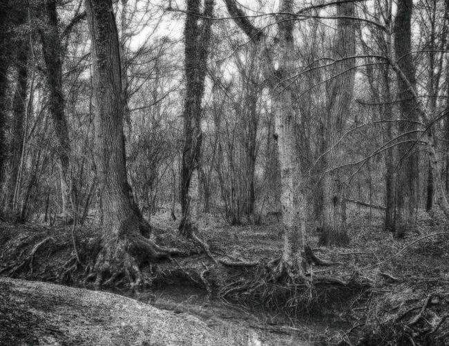 HDR WelwynGardenCity Commonswood Black & White Woodland Walks Winter
