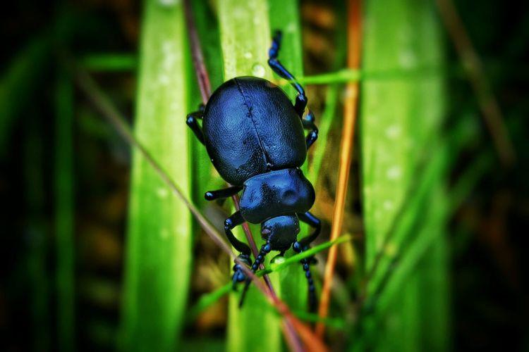 dung beetle in polperro cornwall Polperro Cornwall Cornwall Walks