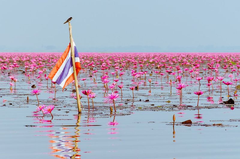 Pink flowers floating on sea against clear sky