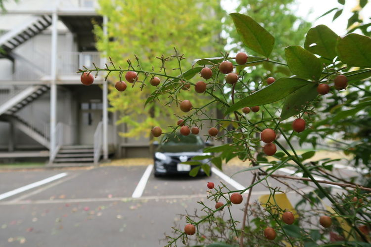 Tree Branch No People Transportation Growth Leaf Close-up Nature Fruit Green Color Outdoors Day Freshness Nature Car Beauty In Nature Jwellery Mazda Mazda6 Atenza マツダ アテンザ Saga