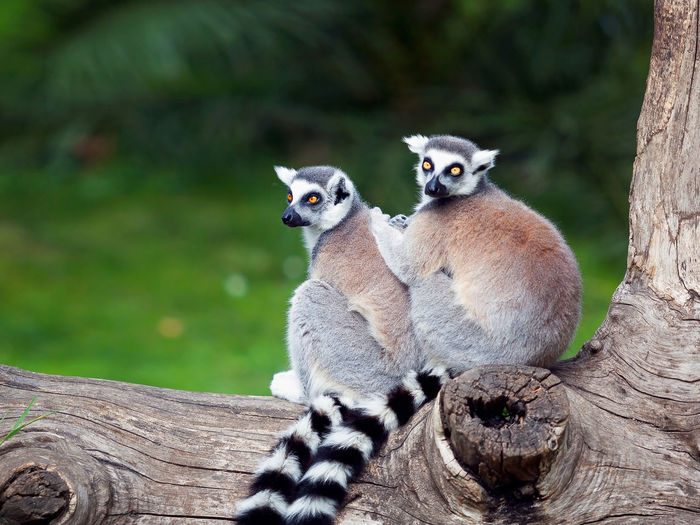 Ring-Tailed Lemurs On Tree