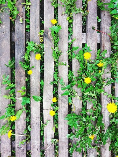 Full Frame Day No People Outdoors Backgrounds Nature Grass Close-up Yellow Flower Live For The Story Sunlight Dandelion Dandelion Seed Nature Retro Summer Summertime Wooden Wooden Texture Textures And Surfaces Flower Head Flower Floor Top View Springtime Decadence