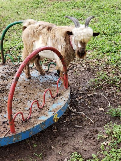 merry goat round Merry Go Round Goats Goat Texas No People EyeEmNewHere Animal Horns Rural Scene Animal Lake #EyeEmNewHere Livestock Tag Livestock Herbivorous Kid Goat