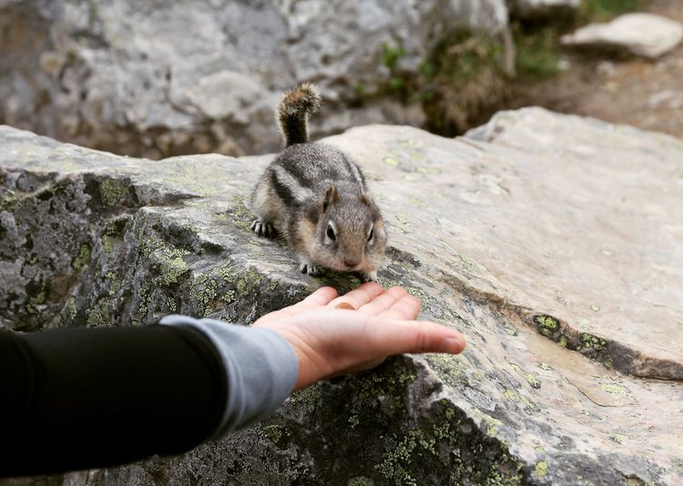 Cropped hand with food by chipmunk on rock