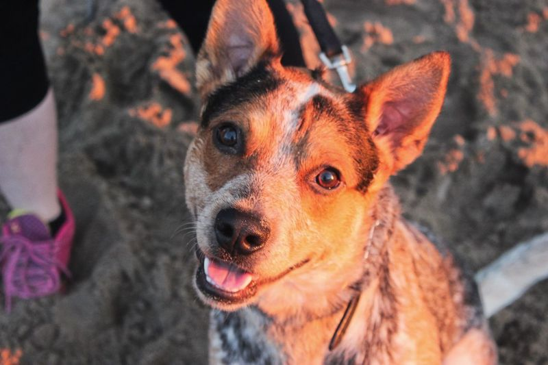 Cobra Kai Animal Themes Australian Cattle Dog Beach Close-up Day Dog Domestic Animals High Angle View Looking At Camera Mammal Nature One Animal Outdoors Pets Portrait Sundown Sunset