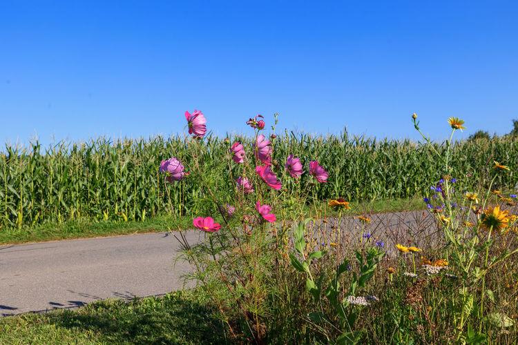 Pink flowering plants on field against blue sky