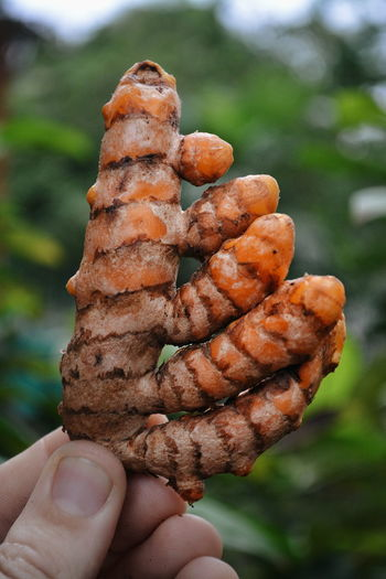 Cropped image of hand holding turmeric root