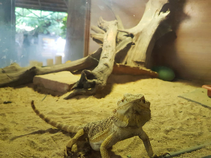 Bearded Dragon Exotic Exotic Pets Scales Scaly Spiny Bearded Dragons Bearded Dragon Animal Encounters Sandy Animal Looking At The Camera Straight Shot Reptile Desert Close-up Lizard Animal Scale Animal Skin