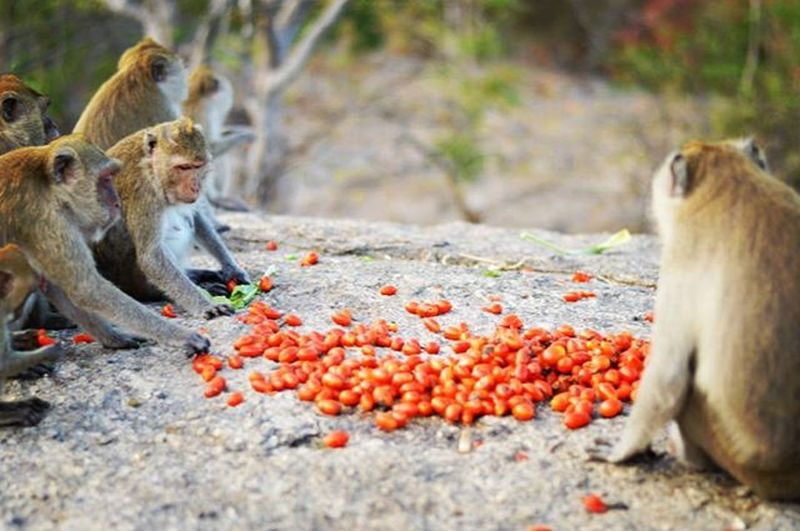 Monkeyfeest Feest Eating Money Monkeys Monkeymountain Red Animal Animals Nature Mountain Mountains Food Trip Hiking Trekking Thailand
