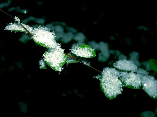 Cold Temperature Snow Winter Nature Frozen Beauty In Nature Ice Frost Close-up Weather White Color Leaf Plant Outdoors Day Focus On Foreground No People Growth Fragility Freshness First Snow Snow ❄ Eyeem Winter Beauty In Nature EyeEm Gallery