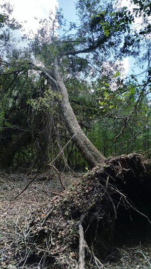 • Hurricane Michael • Hurricane Michael 2018 Wind Damage Fallen Tree Extreme Weather Nature Hurricane - Storm Alabama Tree Water Backgrounds Wet Close-up