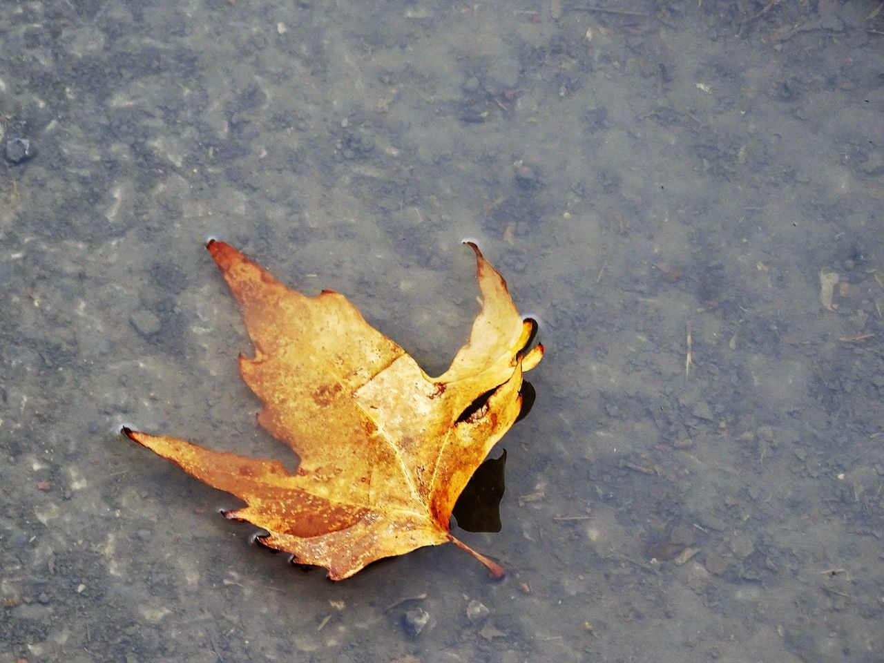 autumn, leaf, change, dry, maple, high angle view, fallen, maple leaf, outdoors, no people, day, nature, street, close-up, fragility