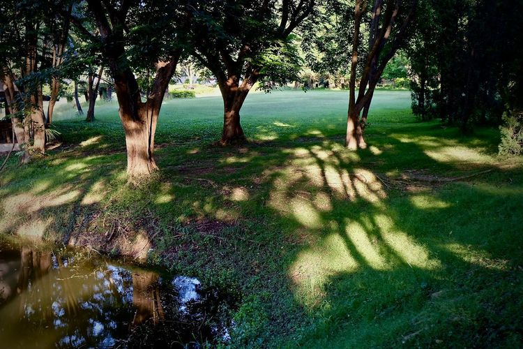 Tree Plant Nature Growth Tranquility Shadow Tree Trunk Beauty In Nature Trunk Land Day Tranquil Scene Sunlight No People Forest Grass Outdoors Water Scenics - Nature Park