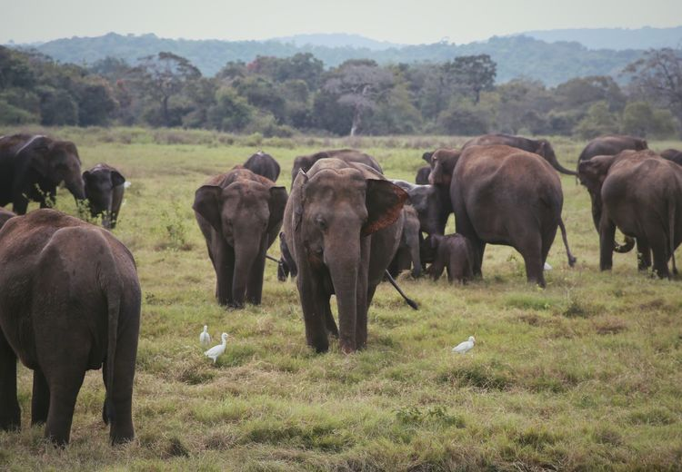 Elephants & birds Animal Group Of Animals Animal Themes Mammal Animals In The Wild Field Plant Animal Wildlife Elephant Land Grass Nature Domestic Animals No People Environment Day Landscape Large Group Of Animals Tree