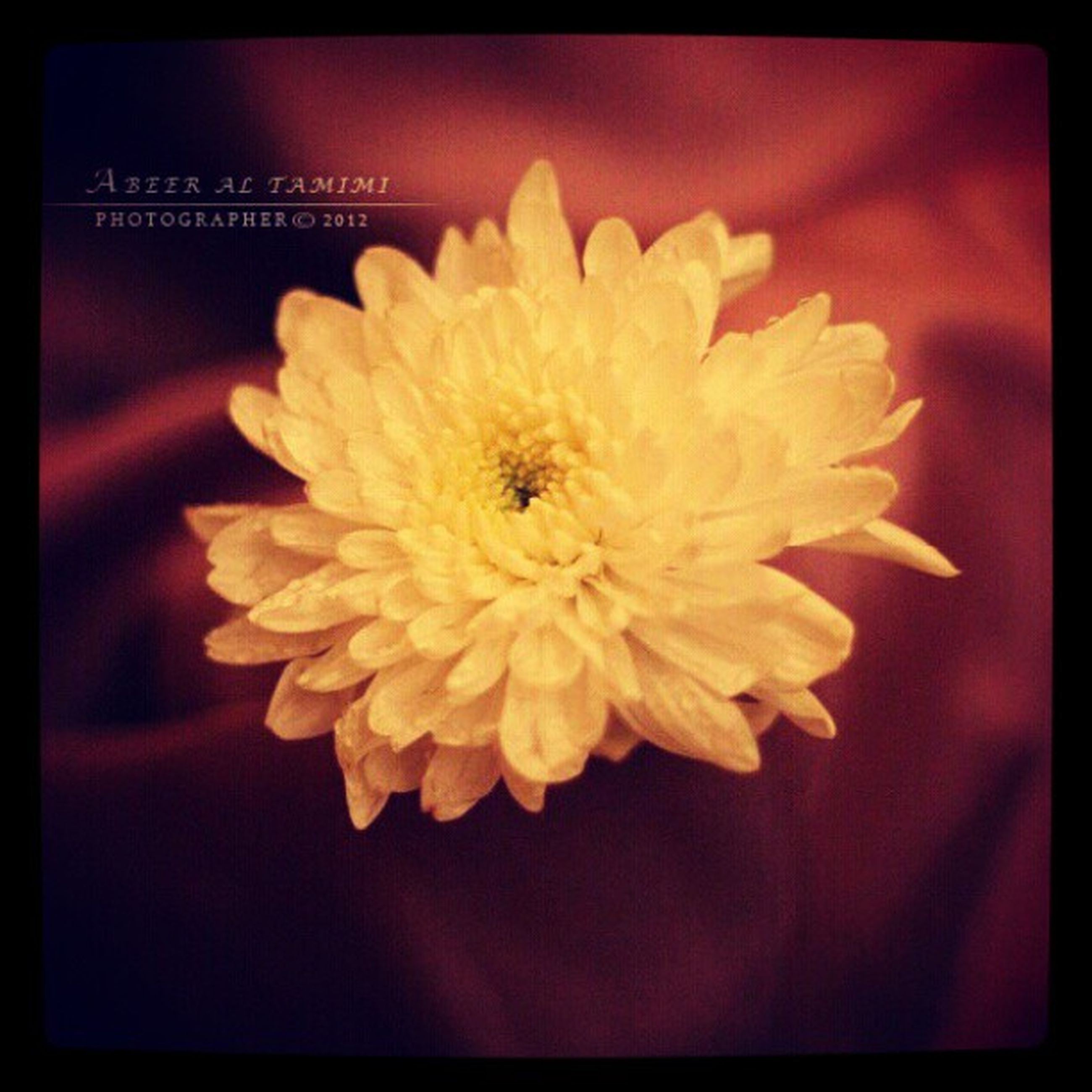 transfer print, flower, auto post production filter, petal, flower head, freshness, fragility, indoors, close-up, yellow, single flower, beauty in nature, pollen, high angle view, nature, no people, white color, table, selective focus, focus on foreground