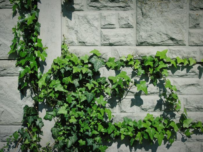 ◽🍥 mother nature obviously thinks that 1970's concrete constructions are ugly too! 😉😉😤😱😲🌸💟📷🍥◽ Wall With Leaves Wall With Ivy Ivy Covered Ivy Leaves Ivy Wall White Background White Wall With Shadows White Album Studies Of Whiteness Studies Of Botany Leaves_collection Showcase May The Week On Eyem Abstract Urban Geometry Pattern