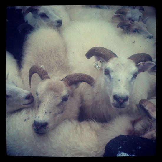 Sheep Iceland Myvatn